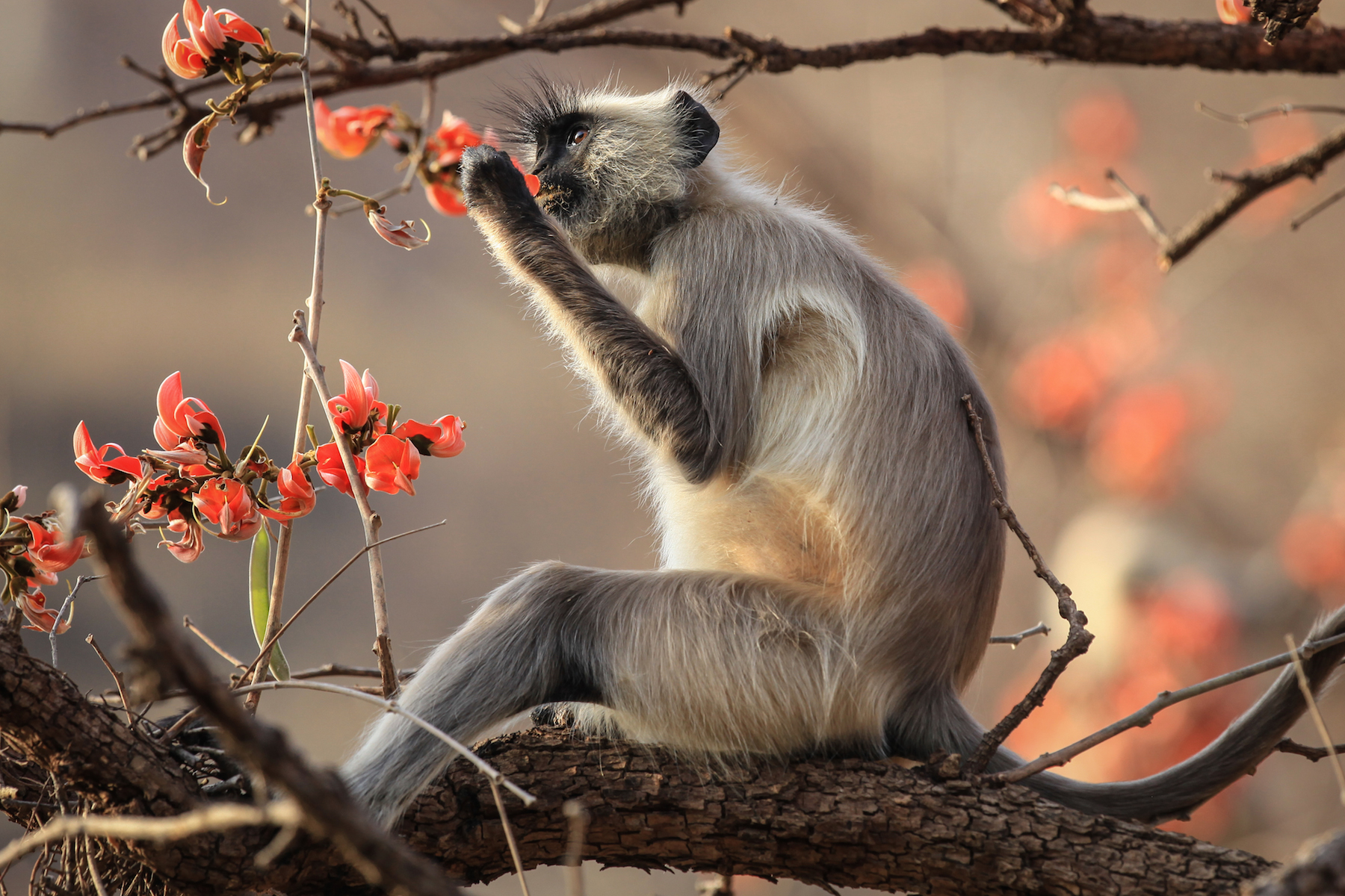 Langur Monkey Eating Blossoms (India)