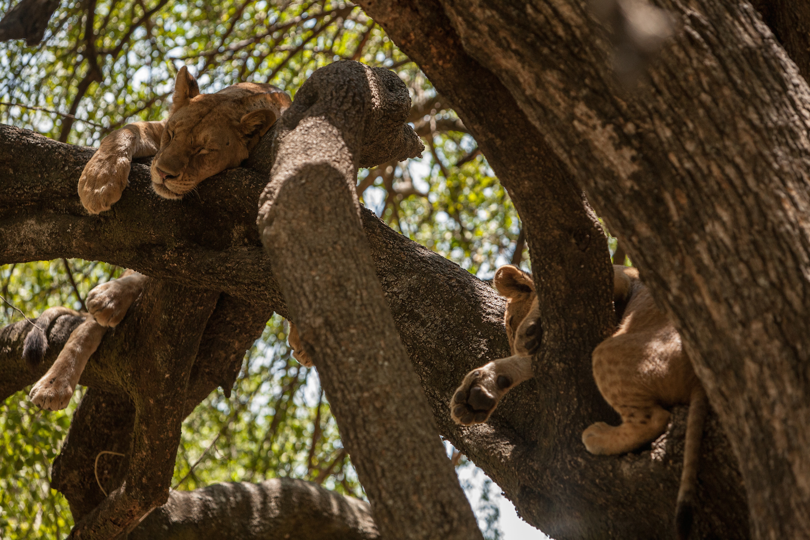 Lions Sleeping in a Tree